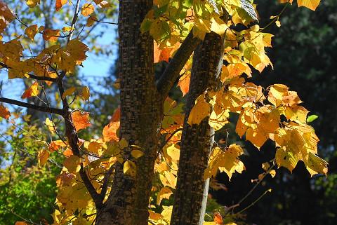 ウリハダカエデの木肌が