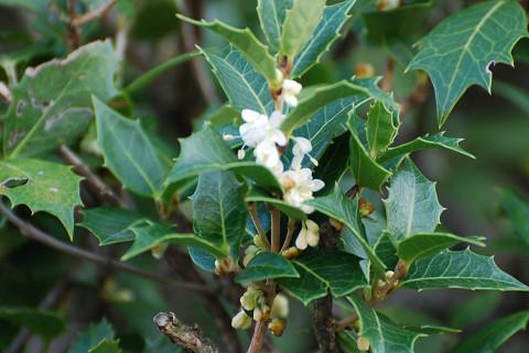 ヒイラギの白い花が