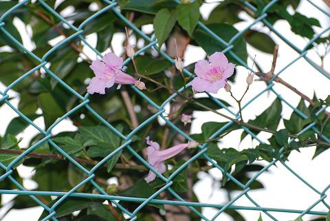 垣根にピンクの花が
