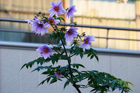 この紫色の花は?