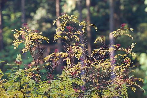 イヌザンショウの赤い花序が