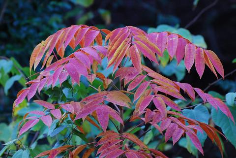 ハゼノキの紅葉が