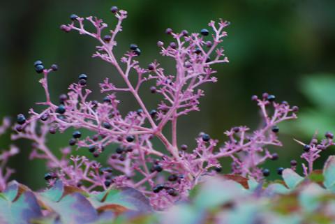 タラノキのピンク色の花序が