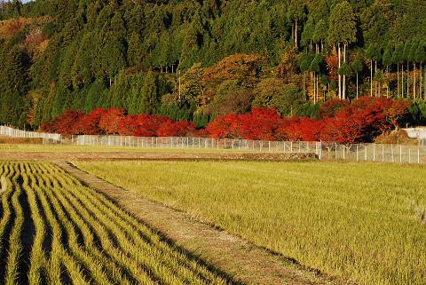 菅沼川沿いのイロハモミジ紅葉が