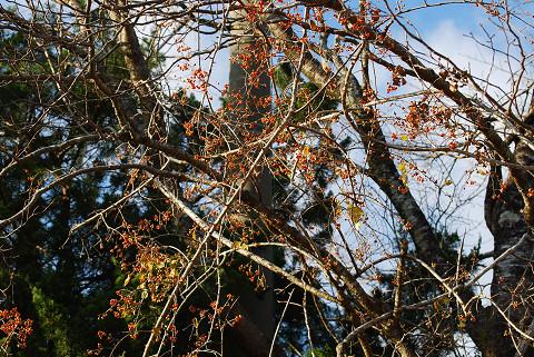 ツルウメモドキの巨大な木