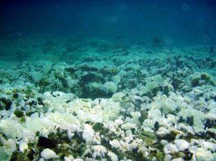 白いサンゴ
