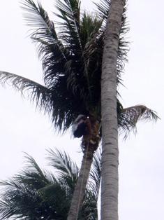 椰子の実狩り??