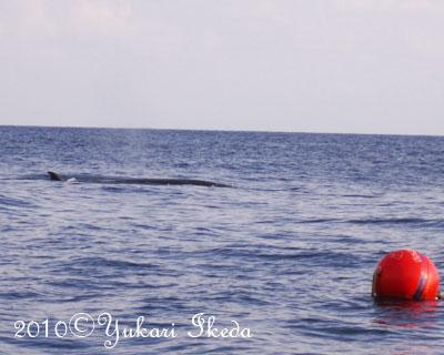 タイ、タオ島、ミンククジラ