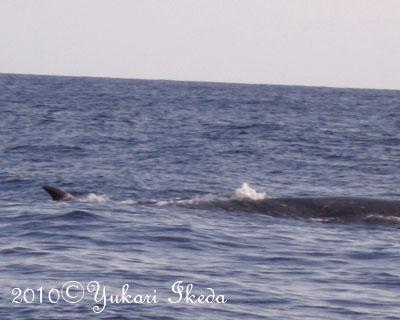 タオ島、ミンククジラ