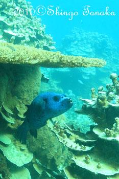 タオ島、ダイビング、コクテンフグ