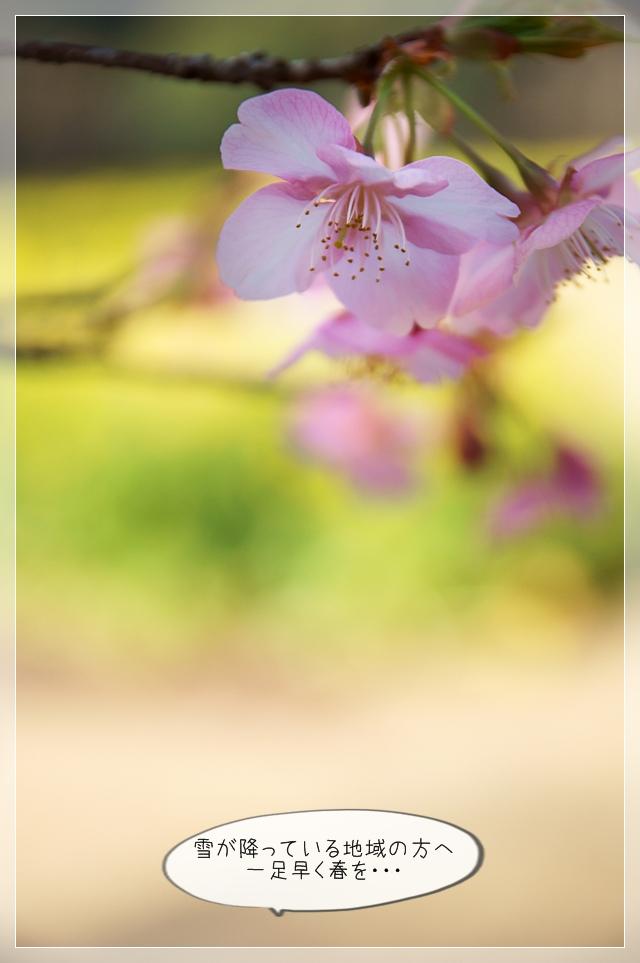 桜咲く10