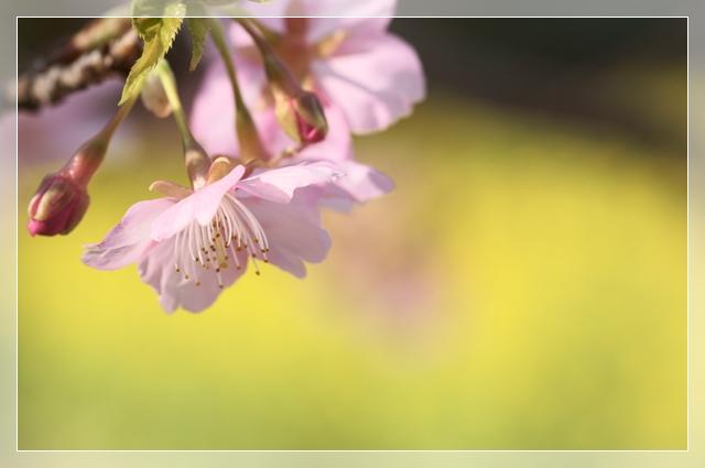 桜咲く08