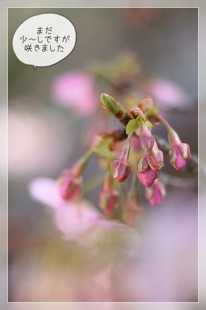 桜咲く07