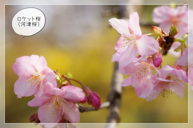 桜咲く09