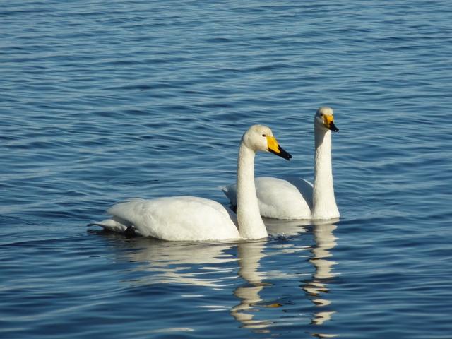 1602羽の白鳥