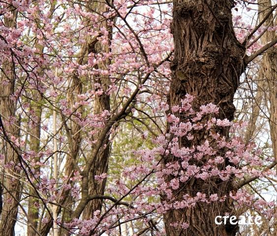 DPP0 668 095木の上に桜0001