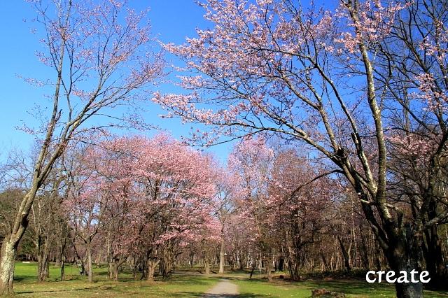 DPP0 668 047鈴蘭公園桜0001