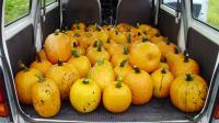 かぼちゃ積込