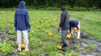 かぼちゃ収穫