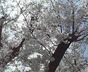 2010sakura.jpg