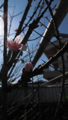 桃の花・・・開花!