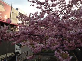 2012,3月河津桜