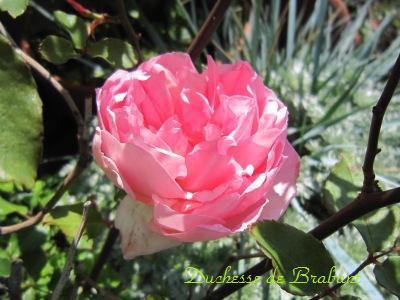 10ブラバン一番花