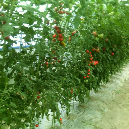 トマトです