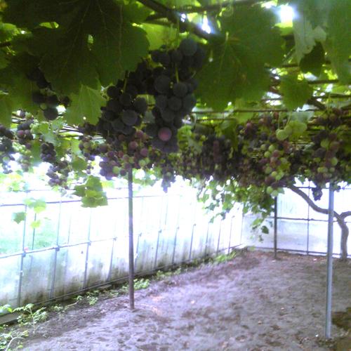 これは、葡萄です。