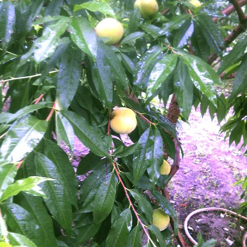 これは、桃です。