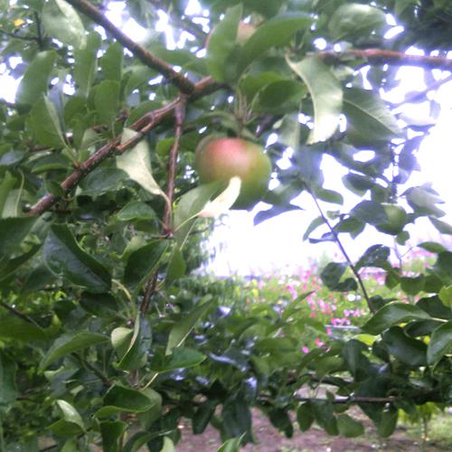 リンゴです。