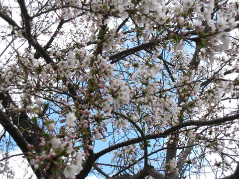 ドーム 桜1