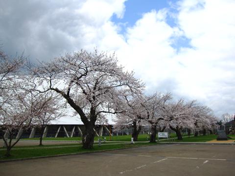 ドーム 桜 3