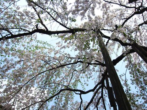 浄応寺 桜 6