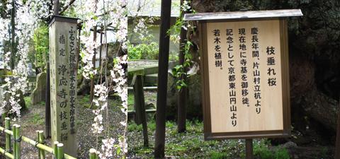 浄応寺 桜 5