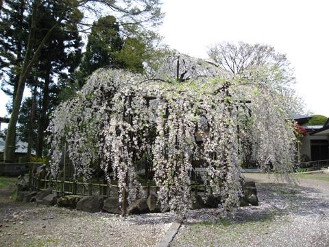 浄応寺 桜 4