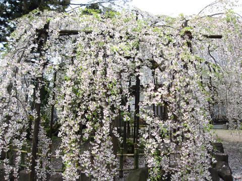 浄応寺 桜 9
