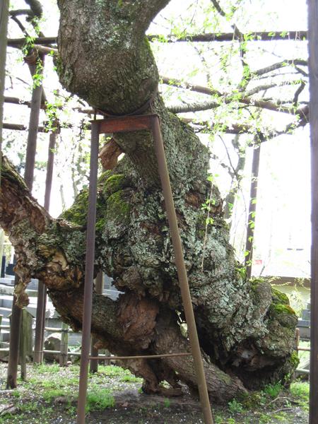 浄応寺 桜 7