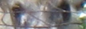 カモシカ 1