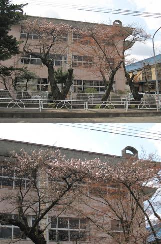城南小学校の桜2
