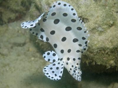 サラサハタ幼魚