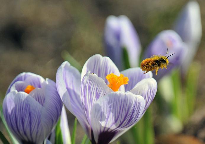 ミツバチが消えた!