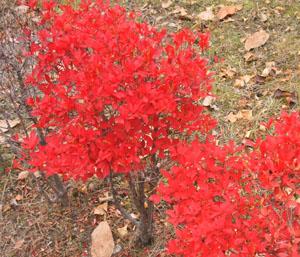 2009.11.24どうだんつつじblog01