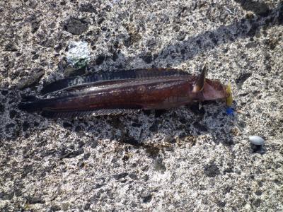 どんこっぽい魚