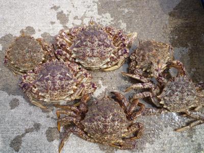 栗蟹20100411