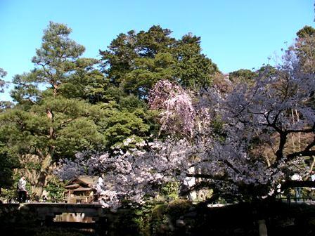 sakura_kenrokuen2.jpg