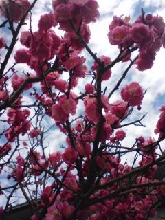 20100227庭の梅
