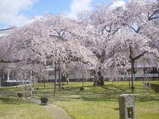 2010年醍醐寺桜 003-1