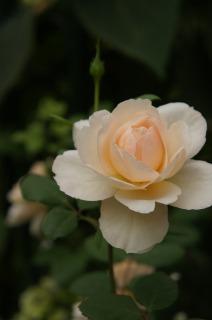 温室のバラ