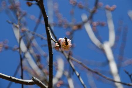 梅と蜂14